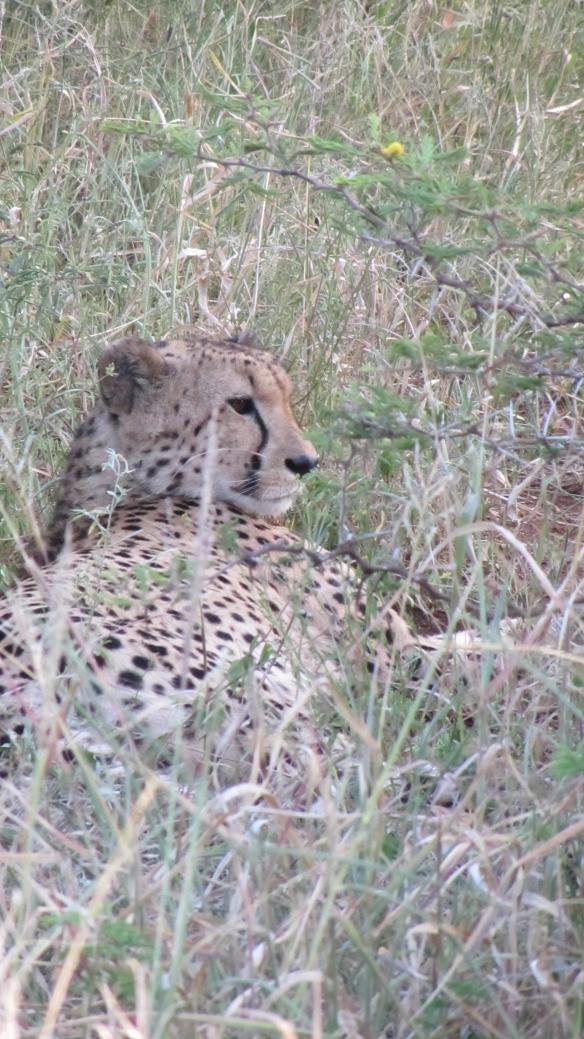 wat ruist? (3) luipaard