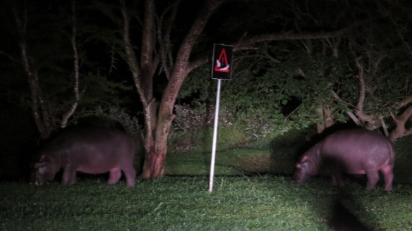 van grazende nijlpaarden 3